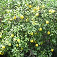 プチグレンレモン