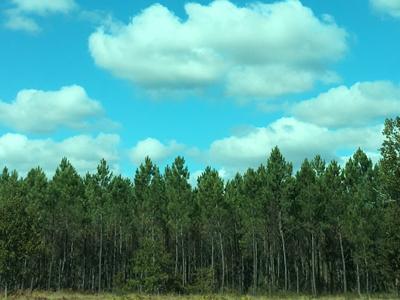 パインの森
