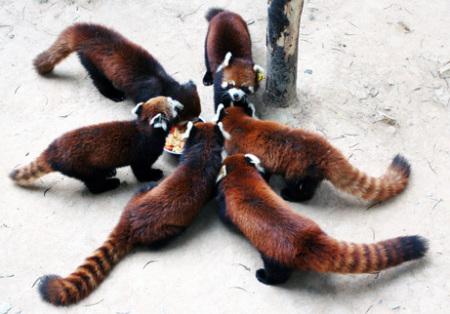 レッサーパンダの子供たち