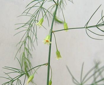 アスパラガスの花