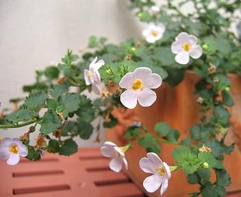 花をたくさん咲かせているステラ