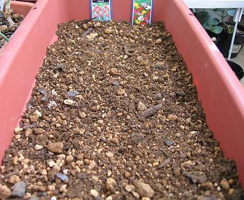 チューリップとフリージアの植え付け