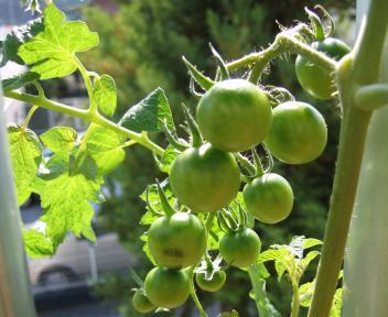 ミニトマトの未熟果