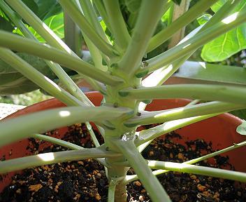 芽キャベツの茎
