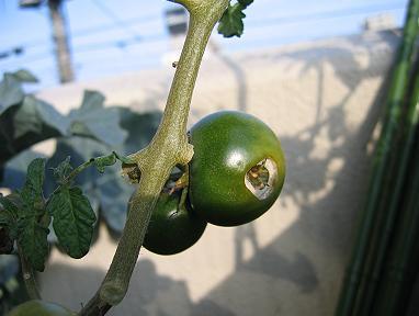 虫喰いトマト