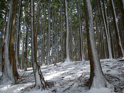 雪で縞模様になった杉林