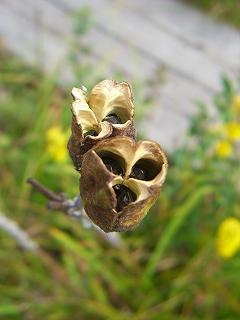 ニッコウキスゲの種