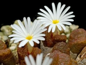 冬型種・コノフィツム
