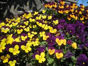 ビオラ 花壇