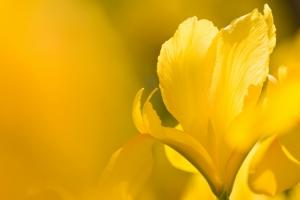 黄色いダッチアイリス