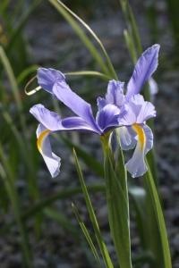 青紫のダッチアイリス