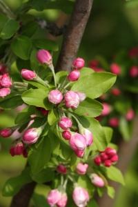 ヒメリンゴ花