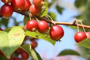 ヒメリンゴ実