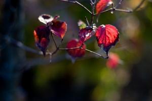 ヤマボウシ(山法師)の紅葉