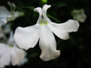 ロベリア白の花