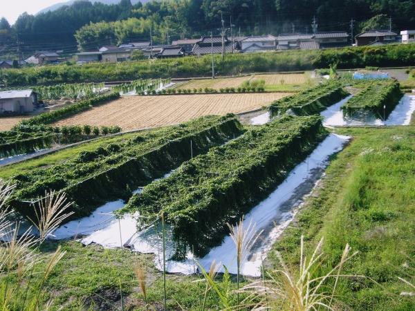 自然薯畑1.JPG