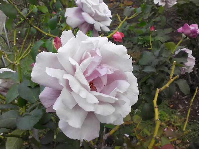 YOGA TABLET 8で撮影したバラ