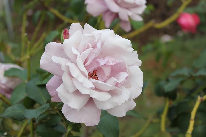 デジタル一眼 EOS Kiss x4で撮影したバラ