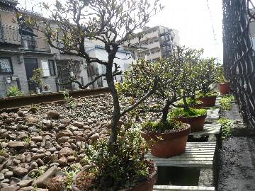 北畠線路脇盆栽bonsai kitabatake