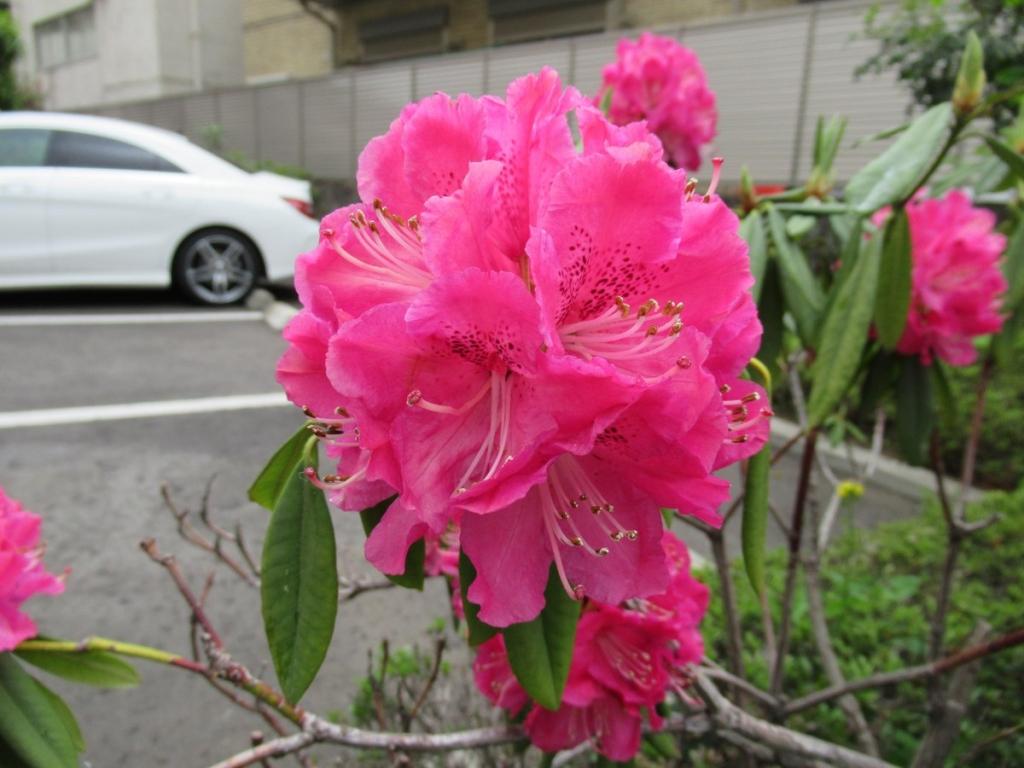 駐車場に咲いていたシャクナゲ