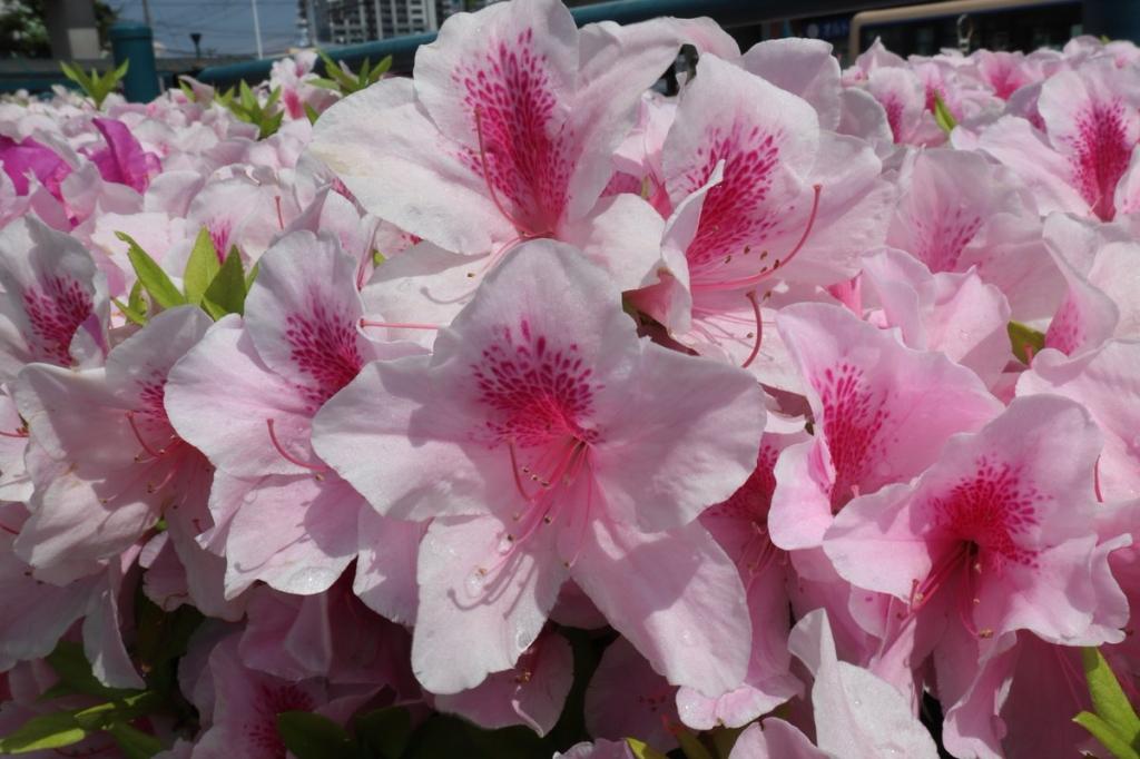 ツヅジ追加分3横浜観光案内と写真・ブログ