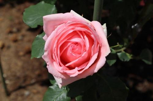 外交官の家の前のバラ