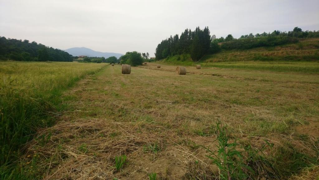 無農薬栽培小麦