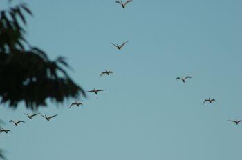 空を見上げたら白鳥の編隊が…。