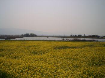 菜の花と福島潟