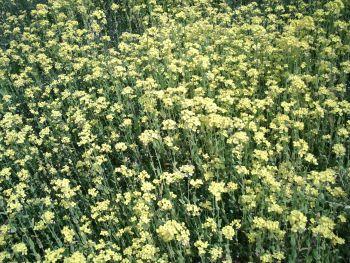 AGFAで撮った菜の花