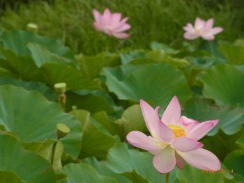 トキふれあいプラザ近くの蓮池