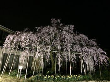 三春の滝桜の子孫ライトアップ