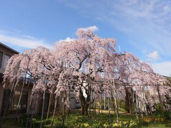 三春の滝桜の子孫と青空