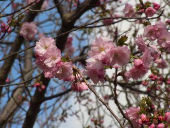 八重の桜はまだ咲き始め