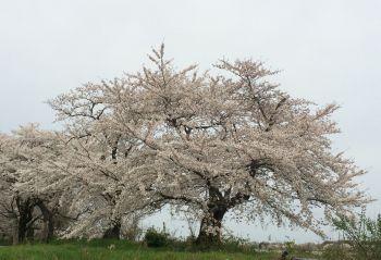 いつもの桜