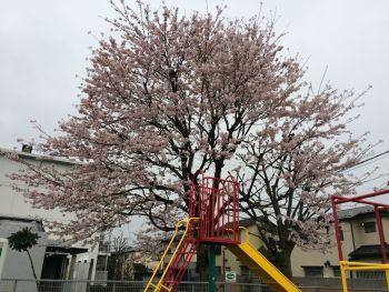 前の公園の桜