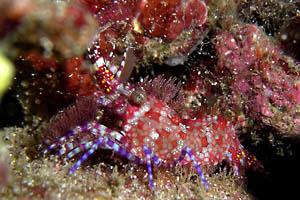 フシウデサンゴモエビ/水中写真