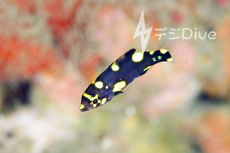 ケサガケベラ幼魚/水中写真