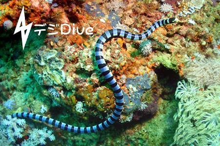 ウミヘビ/水中写真