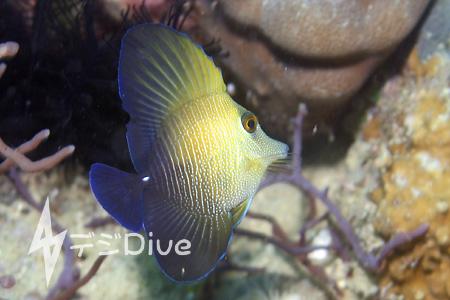 ゴマハギ幼魚/水中写真