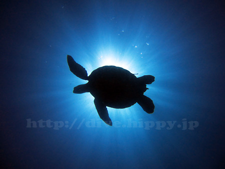 海ガメ水中写真