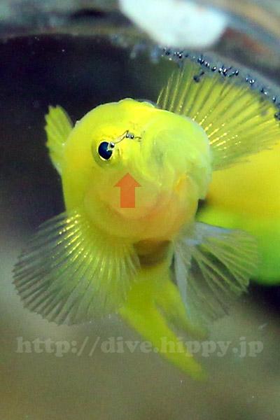 ハッチアウトしたばかりのジンベニハゼの稚魚を親が咥えて瓶の外に送り出すとこ