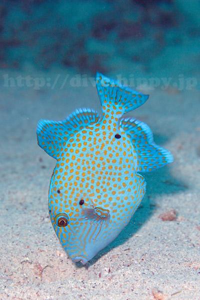 イソモンガラ若魚