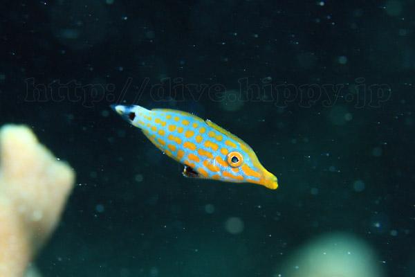 テングカワハギ幼魚