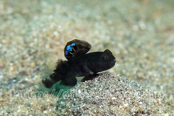 カスリハゼ属の1種幼魚