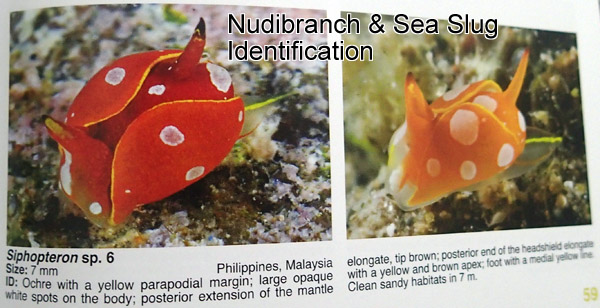 Nudibranch & Sea Slug Identification