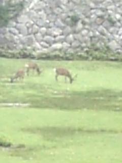 お堀の中にいた鹿っぽいの。ズームマックスでぼやけてる