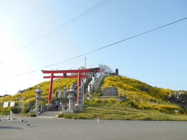 菜の花がキレイ☆蕪島神社