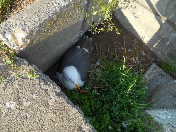 卵を抱くウミネコ♪
