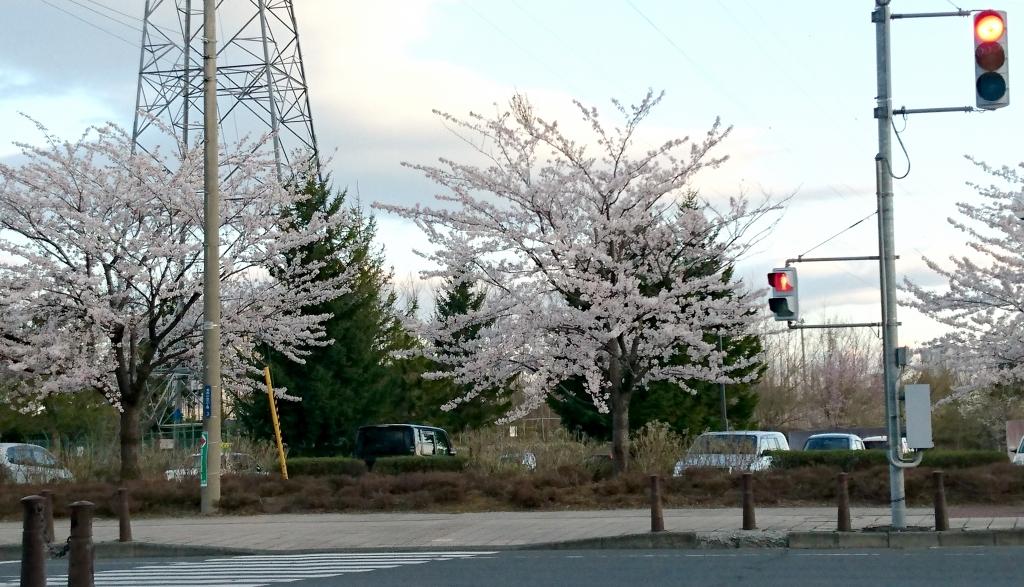 2017年 八戸市でも桜が開花しました♪